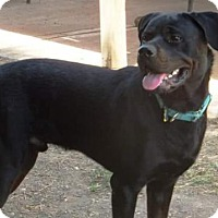 Rottweiler Dog for adoption in White Hall, Arkansas - Chuy (Independent Adoption)