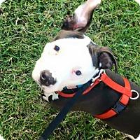 Adopt A Pet :: Amelia - Charlotte, NC