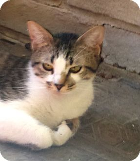 Domestic Shorthair Cat for adoption in Schertz, Texas - Cupcake MB
