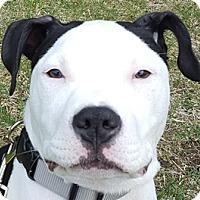 Adopt A Pet :: Razz - Framingham, MA