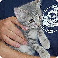 Adopt A Pet :: Ringo - Brooklyn, NY