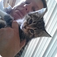 Domestic Longhair Kitten for adoption in castalian springs, Tennessee - squeekers