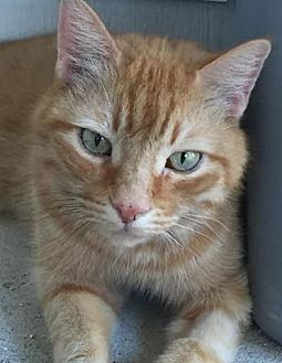Domestic Shorthair Cat for adoption in Phoenix, Arizona - Scotty