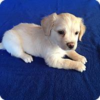 Adopt A Pet :: Rocky Puppy - Encino, CA