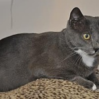 Domestic Shorthair Cat for adoption in Pompano Beach, Florida - Dustin