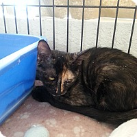 Adopt A Pet :: Spicy - Fountain Hills, AZ