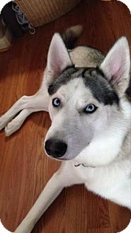 Husky Dog for adoption in Rocky Hill, Connecticut - Nikko