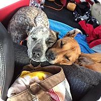 Adopt A Pet :: Remi - Seattle, WA