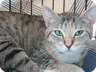Domestic Shorthair Cat for adoption in Long Beach, California - Luna
