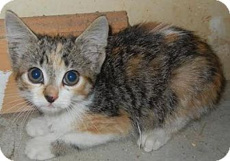 Calico Kitten for adoption in Greensboro, North Carolina - Chloe - **COURTESY LISTING**