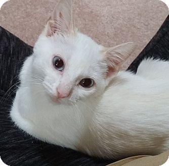 Siamese Kitten for adoption in Cleveland, Ohio - Asher