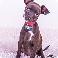 Adopt A Pet :: Miss Pickle - Colorado Springs, CO