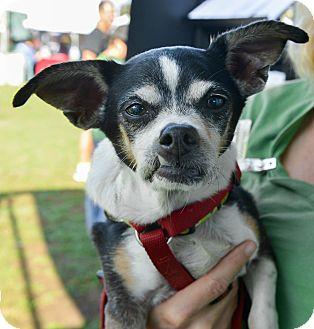 Chihuahua Mix Dog for adoption in Studio City, California - Tito