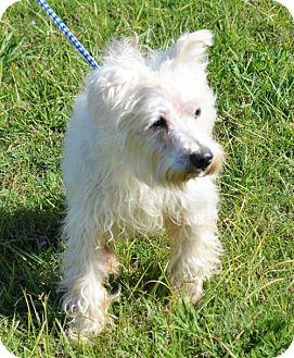 Westie, West Highland White Terrier/Terrier (Unknown Type, Medium) Mix Dog for adoption in Brunswick, Maine - Dixon