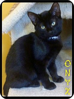 Domestic Shorthair Cat for adoption in Maumelle, Arkansas - Onyx - Foster / 2016
