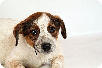 Australian Cattle Dog Mix Puppy for adoption in St. Louis, Missouri - Henri Heeler