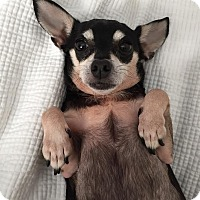 Chihuahua Mix Dog for adoption in Boca Raton, Florida - Dora
