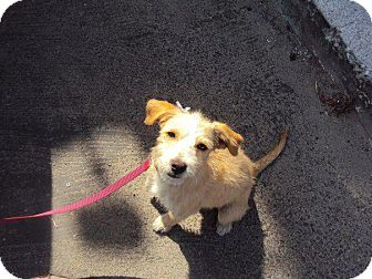 Jack Russell Terrier Mix Puppy for adoption in San Diego, California - Mokka