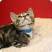 Adopt A Pet :: ABRAHAM - SILVER SPRING, MD