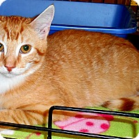 Adopt A Pet :: Tabby - Chattanooga, TN