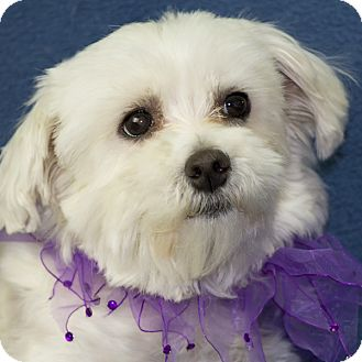 maltese rescue san diego lily adopted dog san diego ca maltese mix 3883