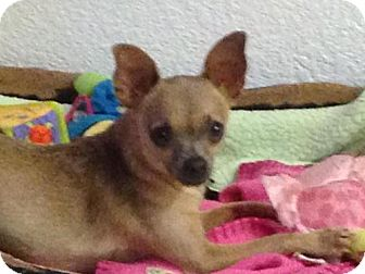 Chihuahua Dog for adoption in Modesto, California - Chica