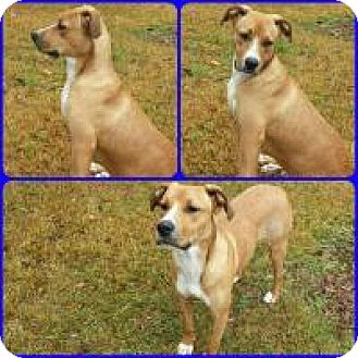 Bulldog/Retriever (Unknown Type) Mix Dog for adoption in Mary Esther, Florida - Murray