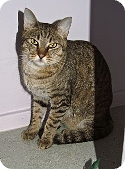 American Shorthair Cat for adoption in Englewood, Florida - Lewis