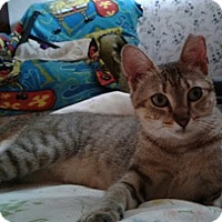Domestic Shorthair Cat for adoption in Great Neck, New York - Sweet Pea