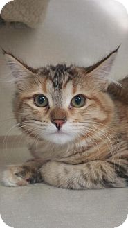 Domestic Shorthair Kitten for adoption in Walnut Creek, California - Madeline