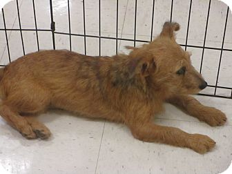 Terrier (Unknown Type, Small) Mix Dog for adoption in DeRidder, Louisiana - Ginger