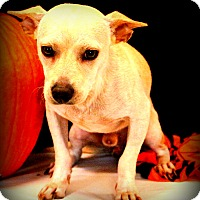 Adopt A Pet :: Tanto~ meet me! - Glastonbury, CT