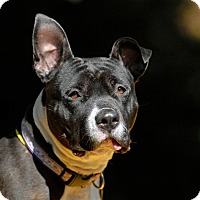 Adopt A Pet :: Chuckles - Pottsville, PA