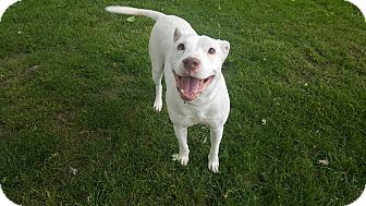 Pit Bull Terrier Dog for adoption in Kettering, Ohio - Emma Frost