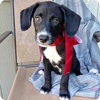 Adopt A Pet :: Cookie - Baton Rouge, LA