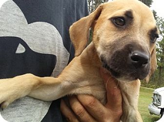 Labrador Retriever/Boxer Mix Puppy for adoption in Glenwood, Georgia - Prudence