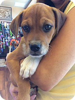 Boxer/Beagle Mix Puppy for adoption in Flemington, New Jersey - Heath