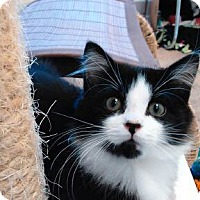 Adopt A Pet :: Cosmo - Cloquet, MN