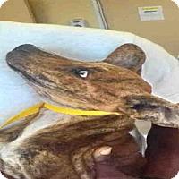 Adopt A Pet :: CAPTAIN - Texas City, TX