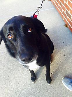 Labrador Retriever Mix Dog for adoption in waterbury, Connecticut - Buehrle