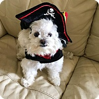 Adopt A Pet :: Ollie - Jupiter, FL
