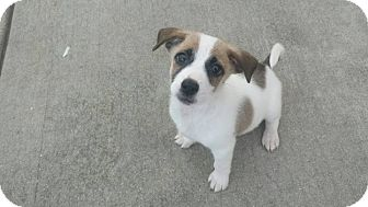 Terrier (Unknown Type, Medium) Mix Puppy for adoption in joliet, Illinois - Hardy