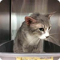 Domestic Shorthair Cat for adoption in Janesville, Wisconsin - Shae
