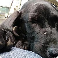 Adopt A Pet :: Gabby - Overland Park, KS
