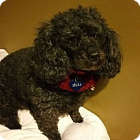 Poodle (Miniature) Mix Dog for adoption in Memphis, Tennessee - Myles