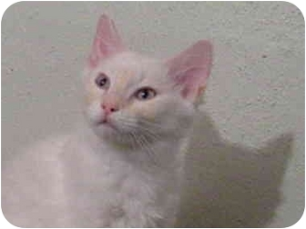 Domestic Shorthair Kitten for adoption in Bartlett, Illinois - Jordy
