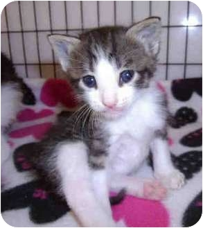 Domestic Shorthair Kitten for adoption in Yuba City, California - GrayWhiteTab (Unknown Sex/Age)