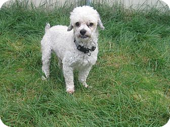 Poodle (Miniature) Mix Dog for adoption in Tumwater, Washington - Benny