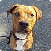 Adopt A Pet :: Sigmon - Richmond, VA