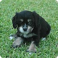 Adopt A Pet :: Peter - La Habra Heights, CA